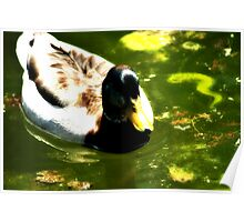 Duck In Nice Green Water Poster