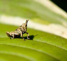 baby grasshopper on hosta leaf by jude walton
