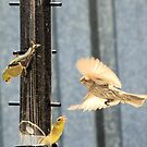 a female American GoldFinch by memaggie