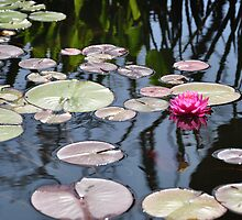 Capistrano Lily Pads by keng612