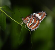 Australian Viceroy by Paul Duckett