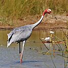 Sarus Crane (Male) by Robert Elliott