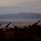Giraffes in sunset light by Kamila  Jerichow