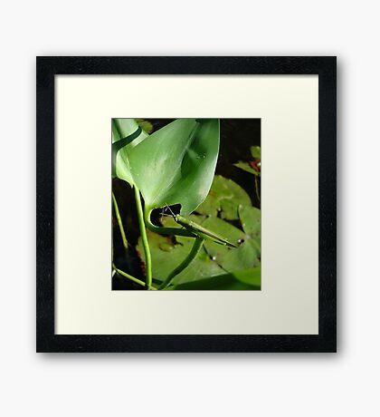 Handsome Meadow Katydid Framed Print