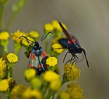 Burnet Moth on Tansy by Pauline Rumsey
