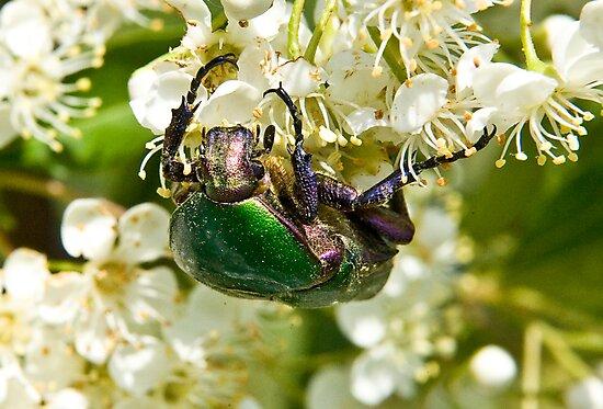 Green Beetle 2 by David Clarke