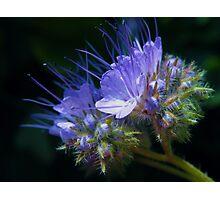 Purple cuties  Photographic Print