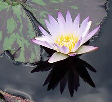 lily pond 1 by schiabor