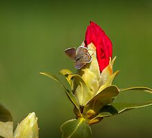 GRAY HAIRSTREAK by Sandy Stewart
