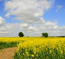 yellow fields by faithimages