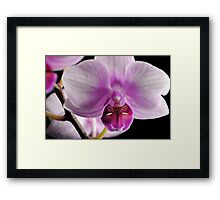 Moth Orchid Close Up Framed Print