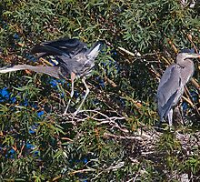 061309 Heron Young by Marvin Collins