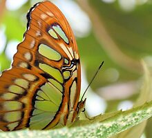 The Malachite Butterfly by ©Dawne M. Dunton
