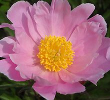 Heirloom Peony by Roger Wheaton