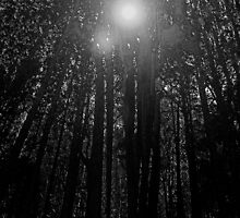 TALL PINE TREES by belvena