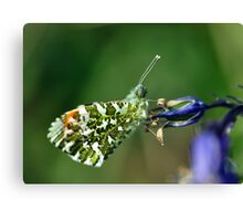 Male Orange Tip Butterfly Canvas Print