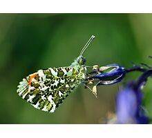 Male Orange Tip Butterfly Photographic Print