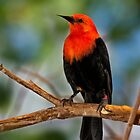 Scarlet-Headed Blackbird by Kathy Weaver
