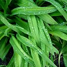 Daylily Leaves After the Rain by Dana Roper