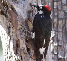 Acorn Woodpecker by Jillian Johnston