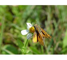 Fiery Skipper  on Bidens alba Photographic Print