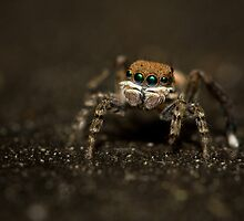 Tiny Jumping Spider by widgee76