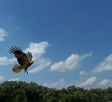 Kite on Adelaide River NT by berriart