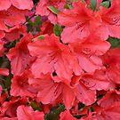Red Azaleas by ©Dawne M. Dunton