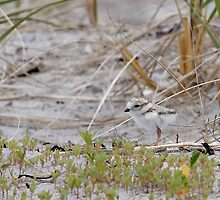 Piping Plover Chick...Hiding in plain sight by lloydsjourney