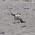 Piping Plover - Browken Wing Display by lloydsjourney