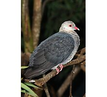 The White-headed Pigeon Photographic Print