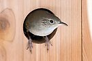 House Wren by wolftinz