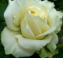 Cream Rose II by Erica Long