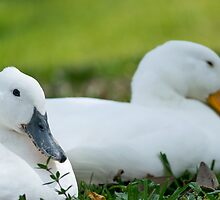 Double Duck by debbieannpowell