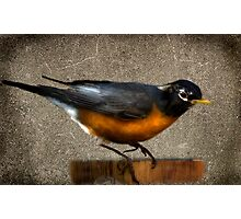 Mr. Robin Photographic Print