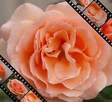 Roses film 3 by Rosemaree