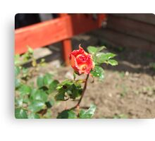 Two toned Rose Canvas Print