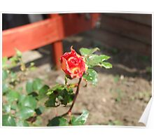 Two toned Rose Poster
