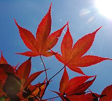 Red Leaves - Blue Sky by James Stevens