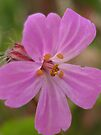 herb robert by millymuso