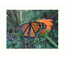 Monarch in Bidens alba Art Print