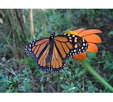 Monarch in Bidens alba Photographic Print