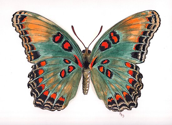Limenitis astyanax, the Red-spotted Purple by Pete Janes