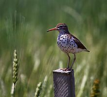 Spotted Sand Piper 2 by John Absher