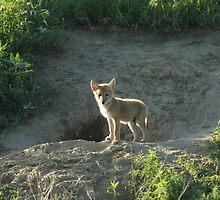 Coyote Pup by Luann wilslef