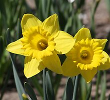 Yellow Daffodils by Alyce Taylor
