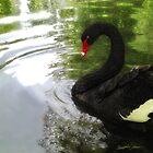 Black Swan 1  by Christopher Johnson