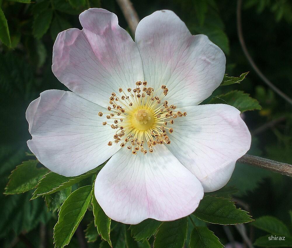 Wild Rose by shiraz