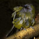 The New Zealand Bellbird by Robyn Carter
