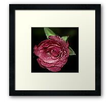Pink rose with water dew. Framed Print